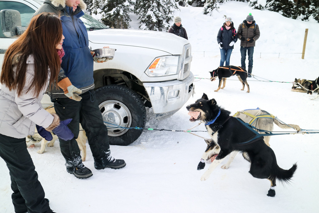 Feeding the dog after dog sled tour in Lake Louise, Banff National Park