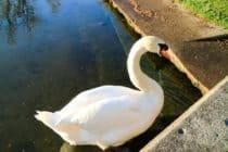 Swan in Toronto Islands
