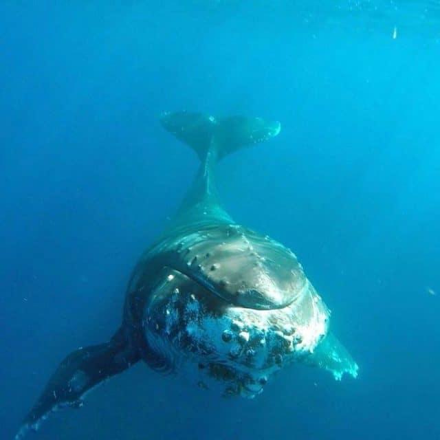 Adventure for adrenaline seekers: Swimming with humpback whales, Ha'apai Resort, Tonga