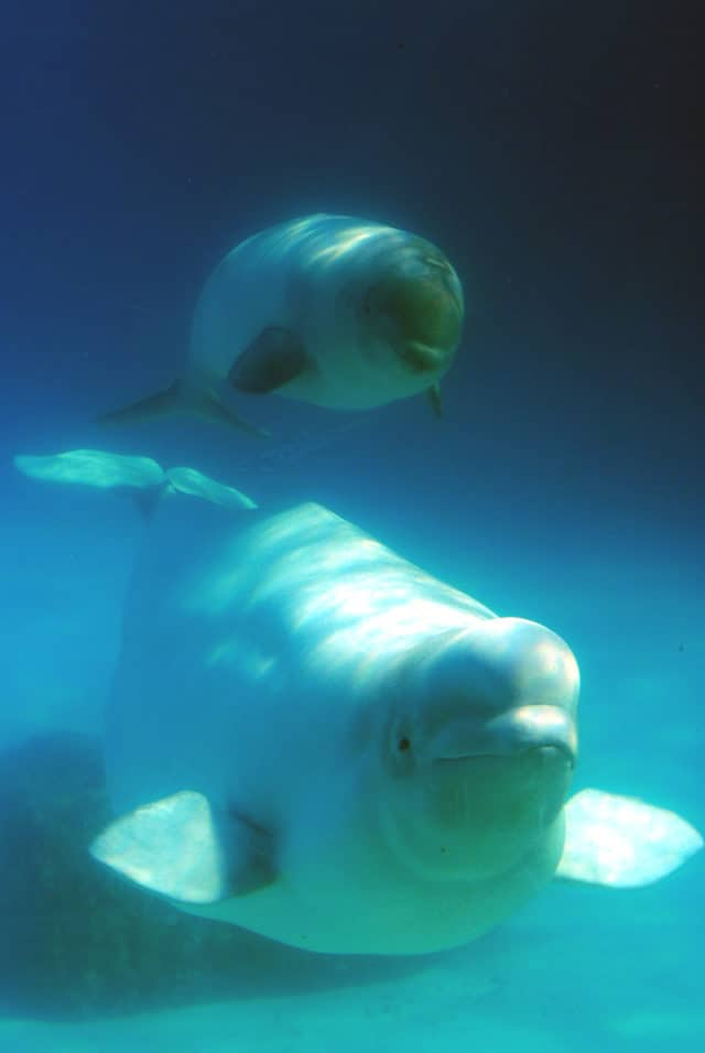 beluga whale in Quebec Maritime