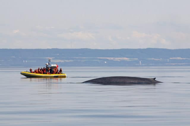 blue whale in Quebec Maritime