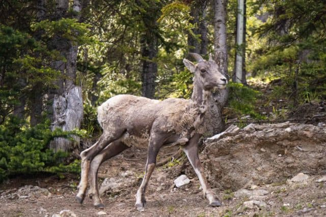 Mount Norquay Wildlife Bighorn Sheep