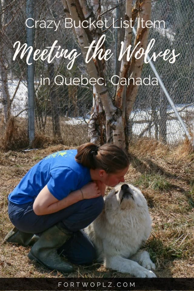Put this on your bucket list: a wolf encounter! Check this post to find out how and where you can do this bucket list item in Canada! #travealcanada #travelguide #tripplanning #traveltips #quebec #itinerary #thingstodo #adventuretravel #nature #wildlife #wolfencounter