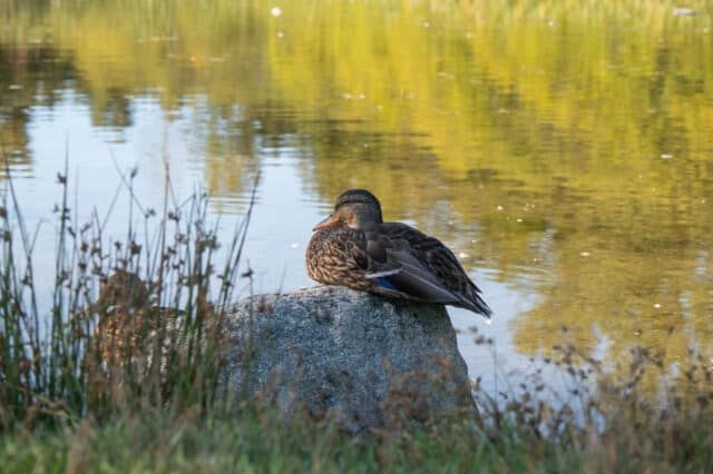 ducks at green timbers urban forest in surrey bc